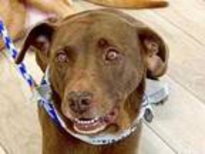 Adopt Harley a Brown/Chocolate Labrador Retriever / Mixed dog in Georgetown