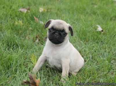 Male pug puppy very playful