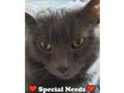 Adopt Bravo a Domestic Short Hair