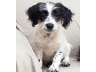 Adopt Harry Styles a White - with Black Scottie, Scottish Terrier / Mixed dog in