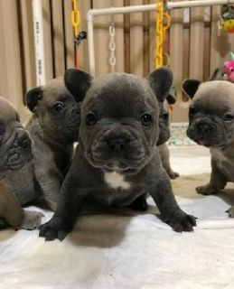 Stunning Blue French bulldog puppies for sale Text (443) 563-1239