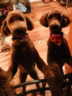Poodle (Standard) PUPPY FOR SALE ADN-52876 - Beautiful Red Standard Poodle Female Puppy
