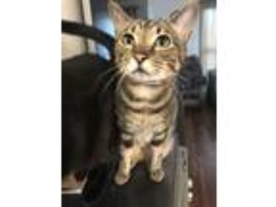 Adopt Cheese a Brown or Chocolate (Mostly) Domestic Shorthair / Mixed cat in