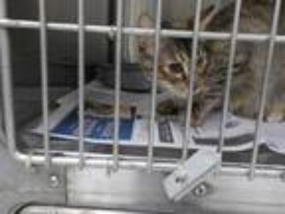 Adopt PIXIE a Brown Tabby Domestic Shorthair / Mixed (short coat) cat in Temple