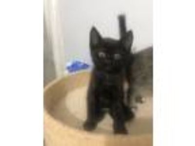 Adopt Mr. Fish a Domestic Short Hair