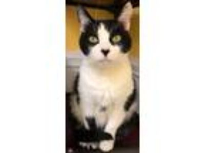 Adopt Orwell a Domestic Short Hair