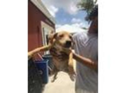 Adopt Snowest a Brown/Chocolate Terrier (Unknown Type, Small) / Mixed dog in St.