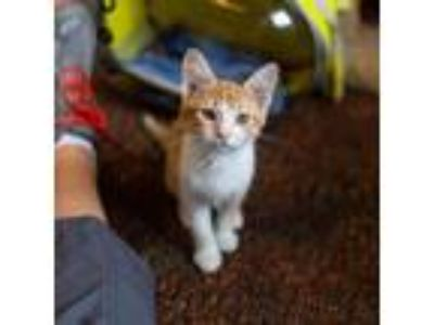 Adopt Savannah a Orange or Red Domestic Shorthair / Domestic Shorthair / Mixed
