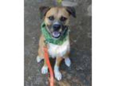 Adopt Browney a Border Terrier