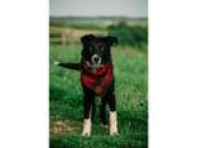 Adopt Jake a Black - with White Border Collie / Mixed dog in Lexington