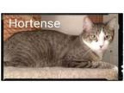 Adopt Hortense a Brown Tabby Domestic Shorthair (short coat) cat in Bowie