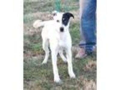 Adopt Montana a White - with Black Blue Heeler / Mixed dog in Cameron