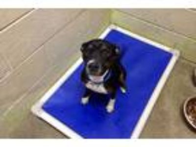 Adopt Zoey a Bull Terrier, Boxer