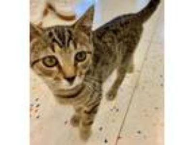 Adopt Bambi - 12 weeks a Brown Tabby Domestic Shorthair / Mixed (short coat) cat