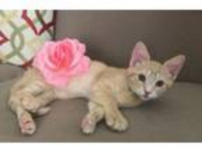 "Adopt Lena "" Little Kitten Keeper "" a Domestic Short Hair, Tabby"
