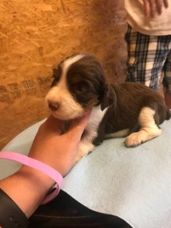 English Springer Spaniel PUPPY FOR SALE ADN-100711 - ENGLISH SPRINGER SPANIELS