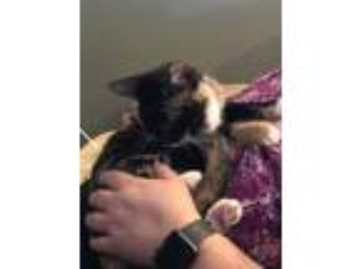Adopt Snickers a American Shorthair