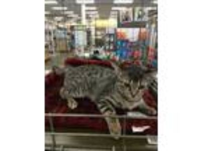 Adopt Shylie a Brown Tabby Domestic Shorthair (short coat) cat in valhalla