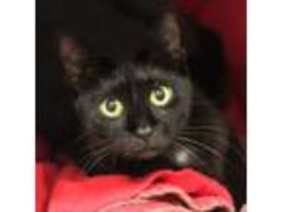 Adopt Bliss a Domestic Short Hair