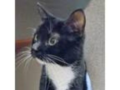 Adopt Tina a All Black Domestic Shorthair / Domestic Shorthair / Mixed cat in