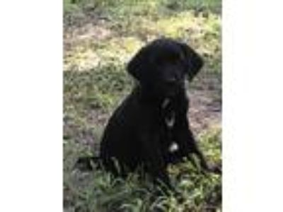 Adopt PUPPIES a Black - with White Black Mouth Cur / Labrador Retriever / Mixed