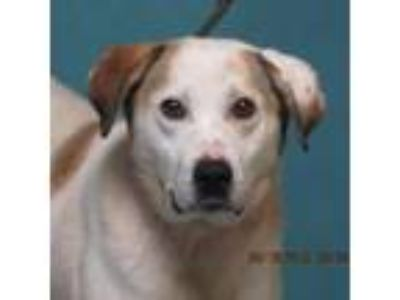 Adopt Taco a White - with Tan, Yellow or Fawn Labrador Retriever dog in Oshkosh