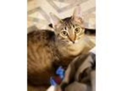 Adopt Johnny a Brown Tabby Domestic Shorthair / Mixed (short coat) cat in South