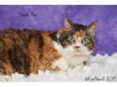 Adopt Sweet Pea a Orange or Red Domestic Shorthair / Domestic Shorthair / Mixed