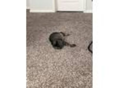 Adopt Stripey a Gray, Blue or Silver Tabby Domestic Shorthair / Mixed cat in