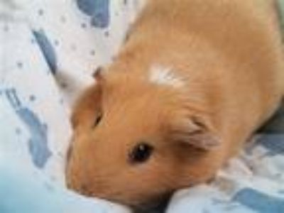 Adopt Fiona a Guinea Pig small animal in Stratham, NH (25923517)