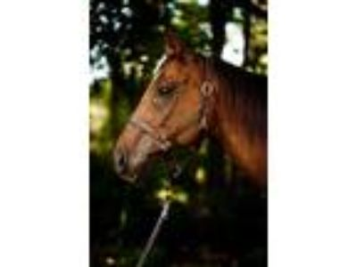 Adopt Red a Thoroughbred