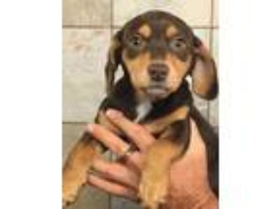 Adopt Olga a Brown/Chocolate Dachshund / Mixed dog in South Elgin, IL (25325257)