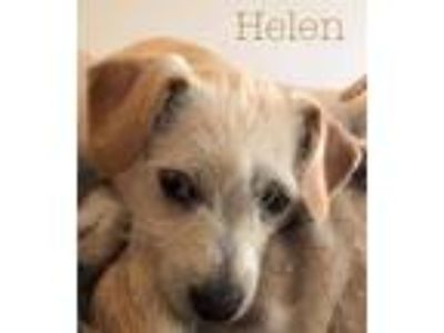 Adopt Helen a Tan/Yellow/Fawn - with White Terrier (Unknown Type