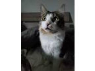 Adopt Maui a Tiger Striped Domestic Longhair / Mixed cat in Kuna, ID (25356790)