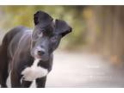 Adopt Roscoe a Black - with White Labrador Retriever / American Pit Bull Terrier