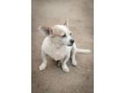 Adopt Coco Girl a White - with Tan, Yellow or Fawn Beagle / Dachshund / Mixed