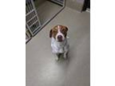 Adopt Hank a White Pointer / Mixed dog in Fort Worth, TX (25874508)