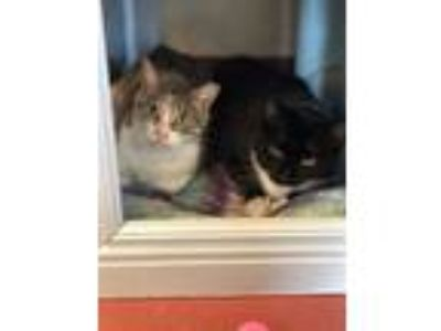 Adopt Margot and Alice a Domestic Short Hair