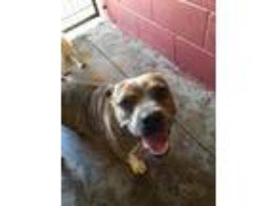Adopt Tank a Boxer, Pit Bull Terrier
