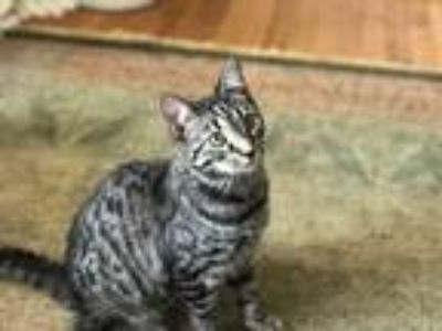 Adopt Tesla a Tiger Striped Domestic Shorthair (short coat) cat in