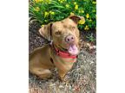 Adopt Niya a Red/Golden/Orange/Chestnut Pit Bull Terrier / Mixed dog in Burgaw
