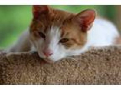 Adopt KIT a Orange or Red Tabby Domestic Shorthair / Mixed (short coat) cat in