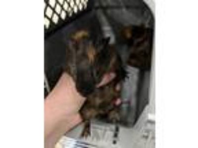 Adopt NINA a Brown or Chocolate Guinea Pig / Mixed small animal in Fruit