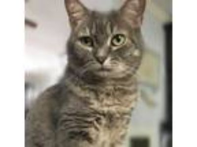 Adopt Belleni a Domestic Short Hair
