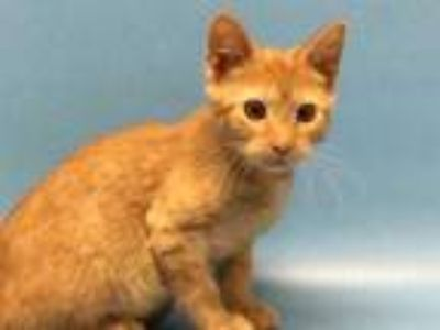 Adopt Tulip a Orange or Red Domestic Shorthair / Mixed cat in Golden Valley