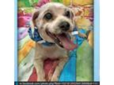 Adopt Randy a Tan/Yellow/Fawn Shih Tzu / Poodle (Miniature) / Mixed dog in