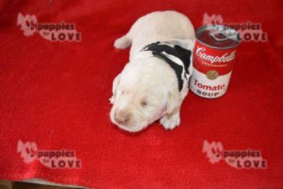 Labrador Retriever PUPPY FOR SALE ADN-98604 - AKC  FULL REGISTRATION
