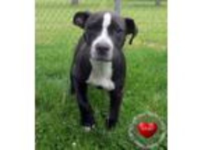 Adopt Fritz Yrly 195 a Pit Bull Terrier