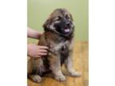 Adopt Zazu a Retriever, Shepherd