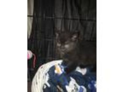 Adopt Arnie a All Black Domestic Shorthair (short coat) cat in Bedford Hills